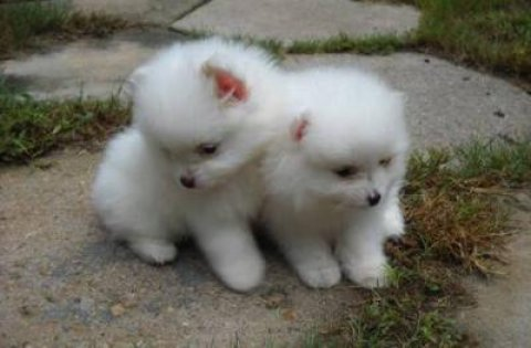 Lovely Pomeranian puppies for Re Homing