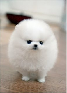 Cute Pomeranian Puppies