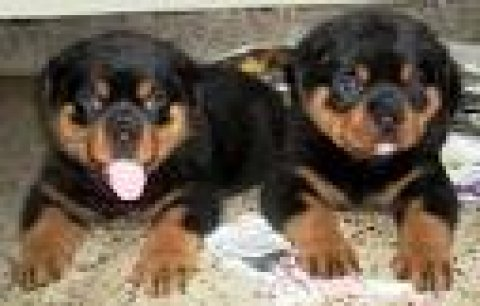 We have 2 gorgeous rottweiler puppies