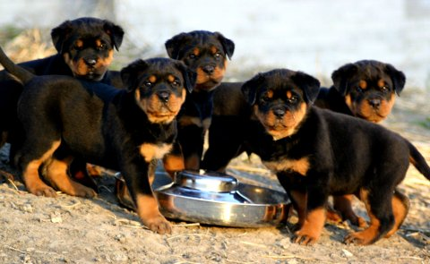 صور Rottweiler Puppies for sale1 1