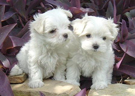 صور Two Lovely Maltese Puppies For Adoption	 1