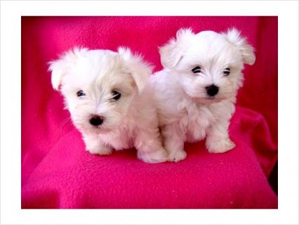 صور Nice Male and Female Maltese 1