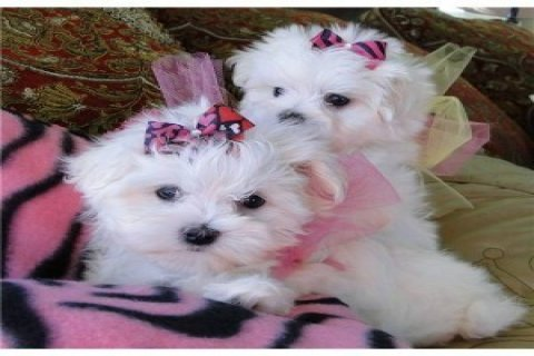 صور Home trained Maltese puppies for adoption 1