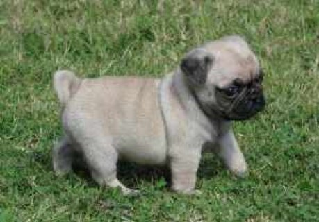 صور Excellent Male And Female Pug Puppies For Sale Now Ready To G 1