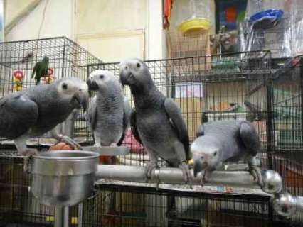 Talking African Grey Parrots with healthy and tame Chicks