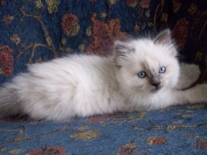 Ragdoll Kittens for sale, Male and Female2