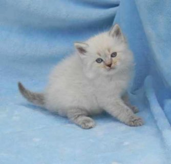Ragdoll Kittens For Adoption3