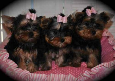 صور Precious little Yorkies are ready for their forever new homes 1