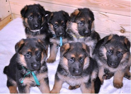 صور Healthy AKC Registered German shepherd puppies for adoption 1