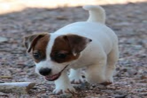 Beautiful jack Russel terrier Puppies for adoption