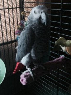 Cutest African Grey Parrots Now