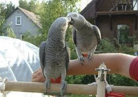 Beautiful Male and Female Congo African Grey Parrots