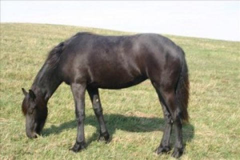 2 Years old Friesian Gelding horse for sale