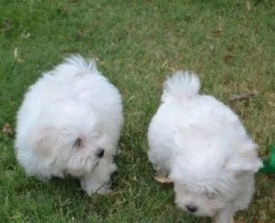 Lovely Teacup Maltese Puppies For New Homes