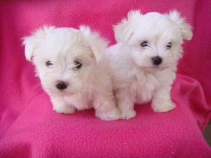 صور male and female maltese puppies for rehoming 1