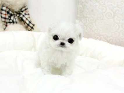 champion  Maltese Puppies males and females available for sale