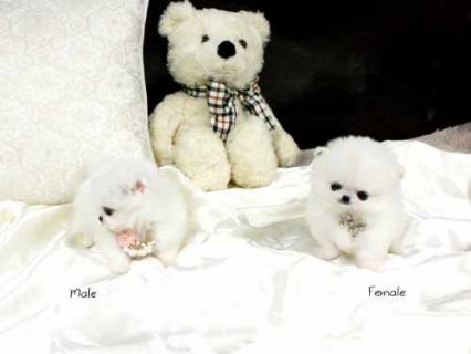 صور Male and Female Teacup Pomeranian Puppies for Adoption 1