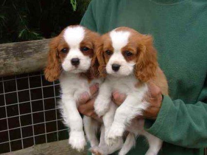 صور King Charles cavalier puppies available now 1