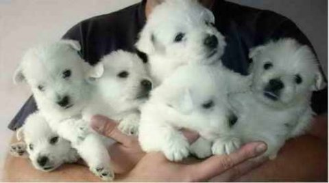 صور CUTE AND LOVELY WEST HIGHLAND TERRIER PUPPIES FOR ADOPTION 1