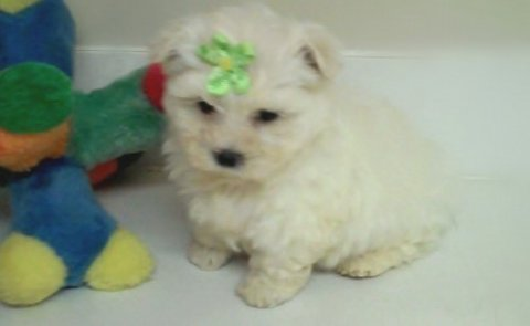 1 Male and 1 female maltese puppies for free adoption