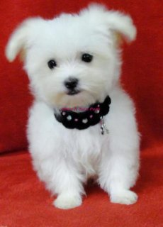 صور Adorable Pomeranian puppies for Adoption	Ok 1