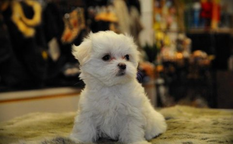 Little Cutest maltese puppy for adoption