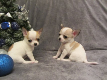 smooth coated Chihuahua puppy's