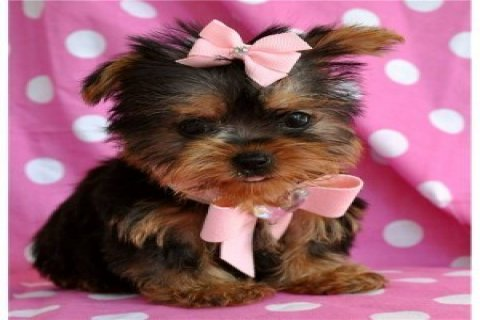 Beautiful Teacup Yorkie Puppies For R-Homing