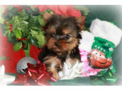 صور T-cup yorkie puppy looking for a lovely home	 1