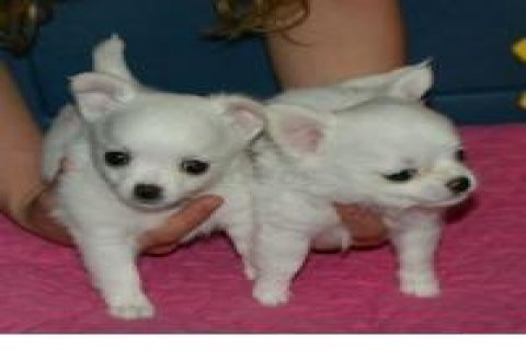 صور Chihuahua puppies Adoption1 1