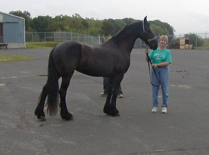 FRIESIAN HORSE	NOW TO GO