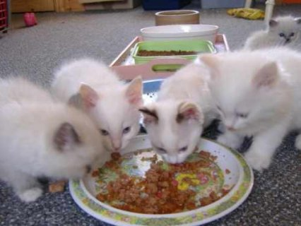 صور Five Ragdoll kittens for adoption 1