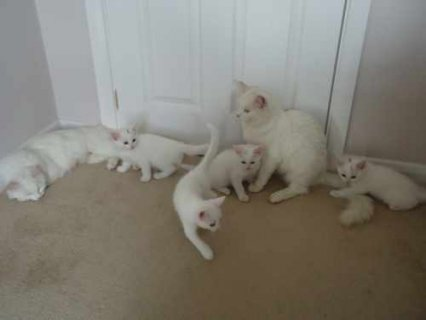Cute males and female British short kittens for good re homing