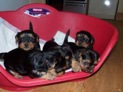 صور Cuties Pedigree tiny Yorkie Puppies for adoption 1