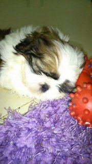 Pure Breed SHIH-TZU