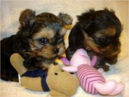Male and Female Yorkshire Terrier Pups Available