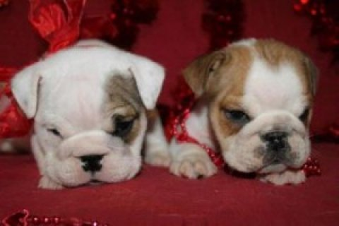 All Viewed Male and Female English Bulldog Puppies For Sale