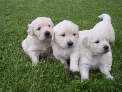 صور  Purebred Golden Retrievers puppies for sale males and females 1