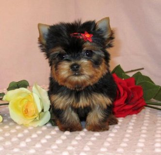 READY YORKIE PUPPIES READY NOW