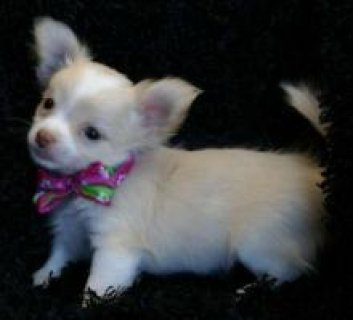 صور Precious Chihuahua puppies for adoption	 1
