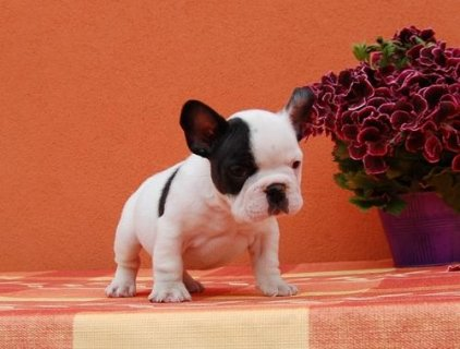 Cute French Bulldog Puppies For Sale Now