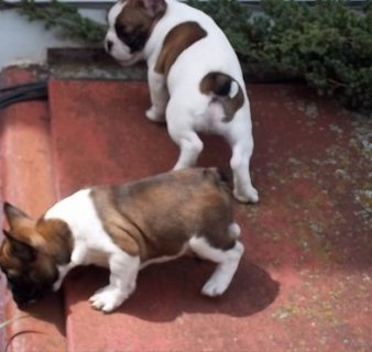 صور Fantastic french bulldog Puppies Available  1