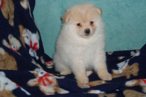 صور Full Breed Pomeranian puppies for Adoption.	 1