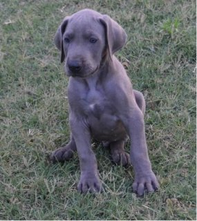 AKC Great Dane puppies for adoption.