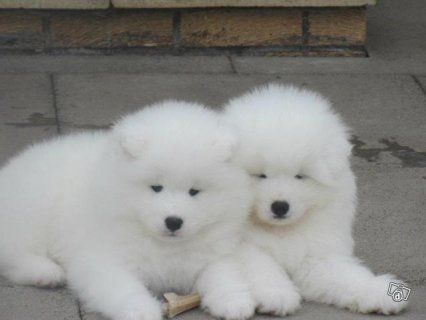 Samoyed puppies Available