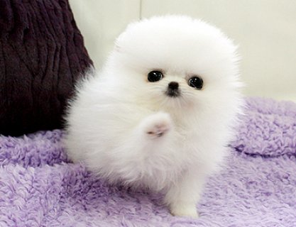Two Cute male and female Pomeranian