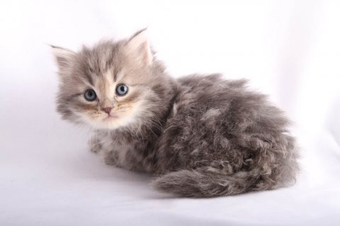 Hypo-allergenic Siberian Kittens for Adoption
