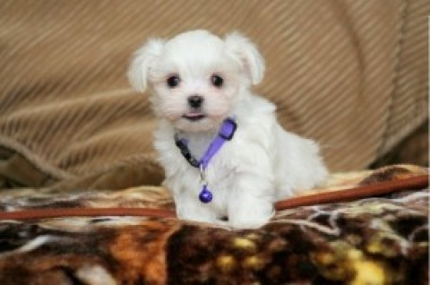 صور Tiny Maltese Male Puppy 1