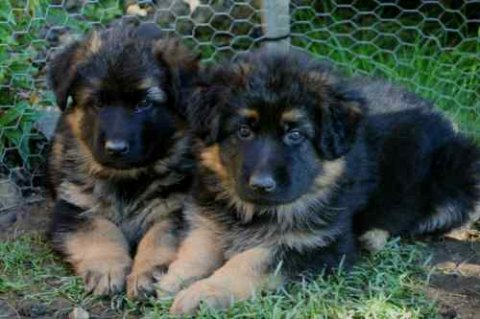 صور German Shepherd Puppies..ready Now For Adoption 1