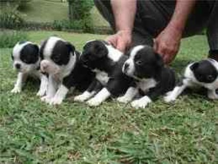male and female Boston terrier puppies for adopt